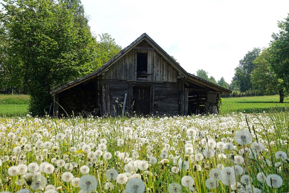 old barn with dandelions